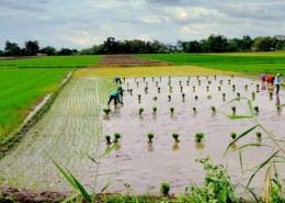 cauayan-rice-fields